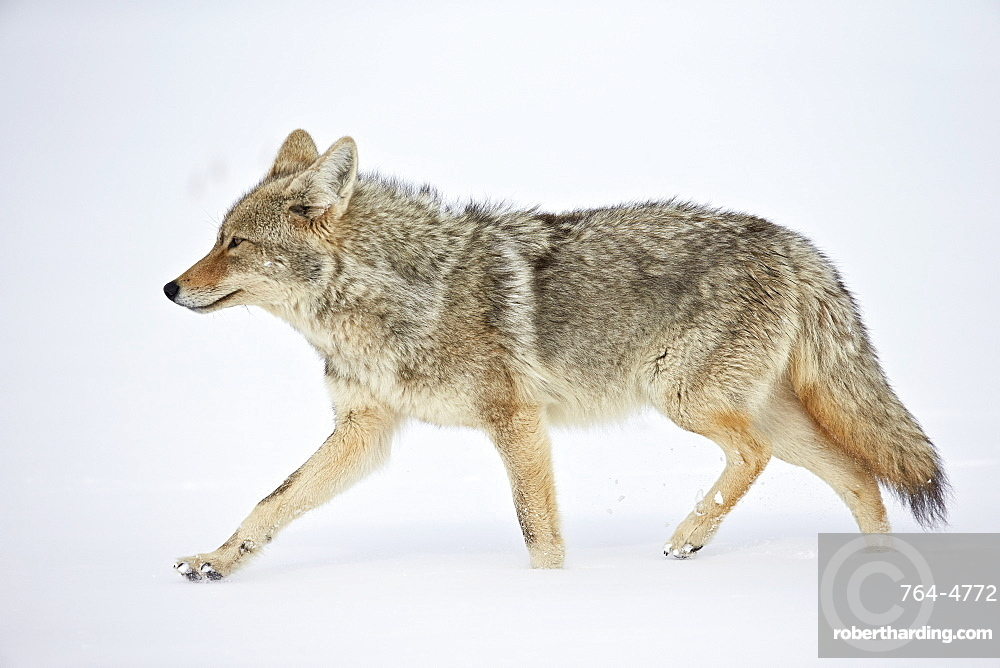 Coyote (Canis latrans) running through the snow, Yellowstone National Park, Wyoming, United States of America, North America