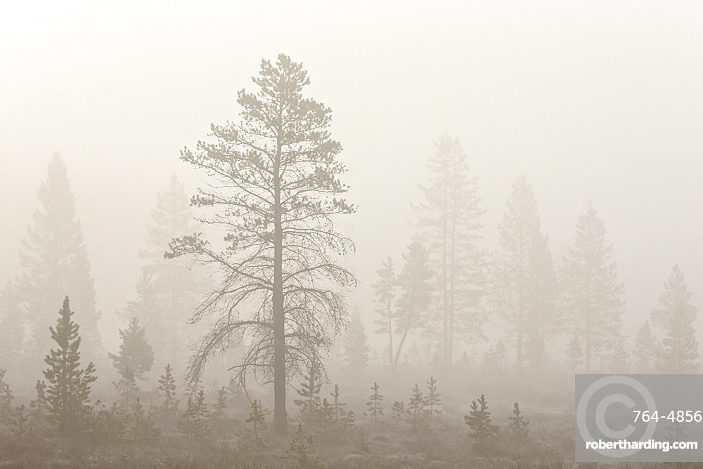 Trees in fog, Yellowstone National Park, UNESCO World Heritage Site, Wyoming, United States of America, North America