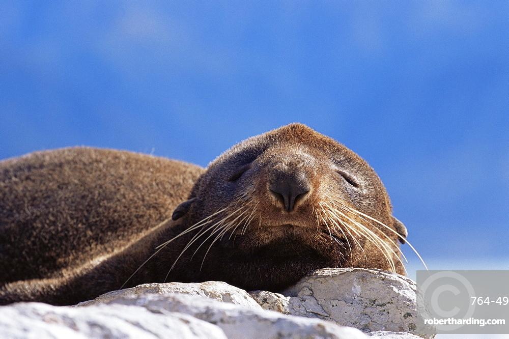 New Zealand fur seal (Arctocephalus fosteri), Kaikoura, South Island, New Zealand, Pacific