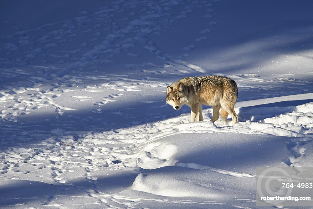 Gray wolf (Canis lupus) 870F of the Junction Butte Pack in the winter, Yellowstone National Park, Wyoming, United States of America, North America