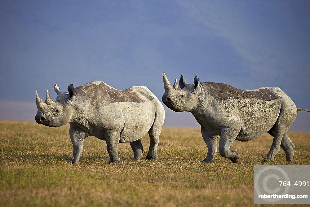 Two black rhinoceros (hook-lipped rhinoceros) (Diceros bicornis), Ngorongoro Crater, Tanzania, East Africa, Africa