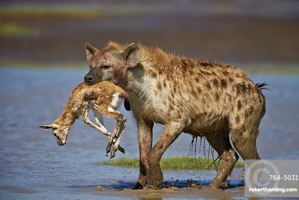 Spotted hyena (spotted hyaena) (Crocuta crocuta) with a baby Thomson's Gazelle (Gazella thomsonii), Ngorongoro Conservation Area, Serengeti, Tanzania, East Africa, Africa