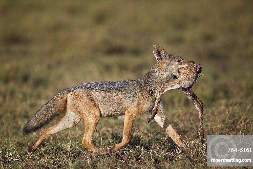 Black-backed jackal (silver-backed jackal) (Canis mesomelas) carrying half a Thomson's gazelle (Gazella thomsonii) calf, Ngorongoro Conservation Area, UNESCO World Heritage Site, Serengeti, Tanzania, East Africa, Africa