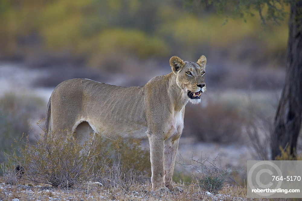 Lioness (Panthera leo), Kgalagadi Transfrontier Park encompassing the former Kalahari Gemsbok National Park, South Africa, Africa