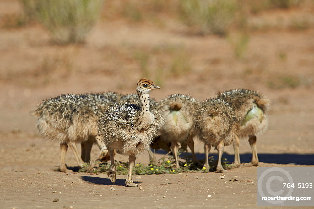 Common ostrich (Struthio camelus) chicks, Kgalagadi Transfrontier Park encompassing the former Kalahari Gemsbok National Park, South Africa, Africa