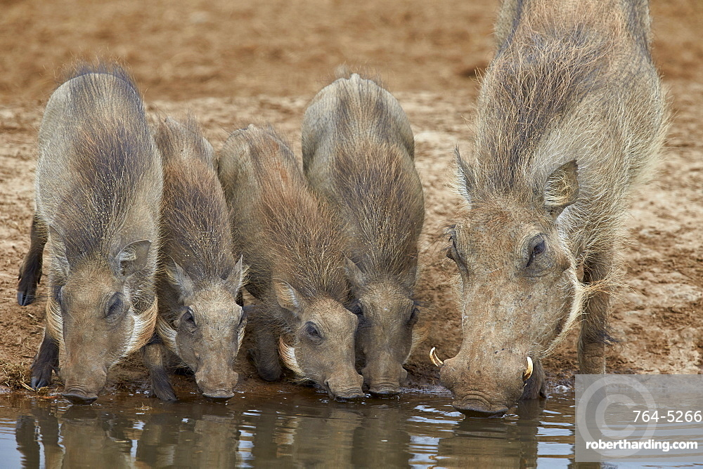 Warthog (Phacochoerus aethiopicus) adult and piglets drinking, Addo Elephant National Park, South Africa, Africa