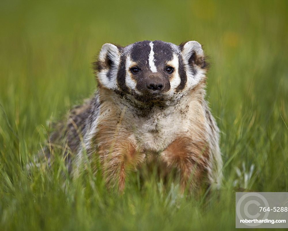 American badger (Taxidea taxus), Yellowstone National Park, Wyoming, United States of America, North America