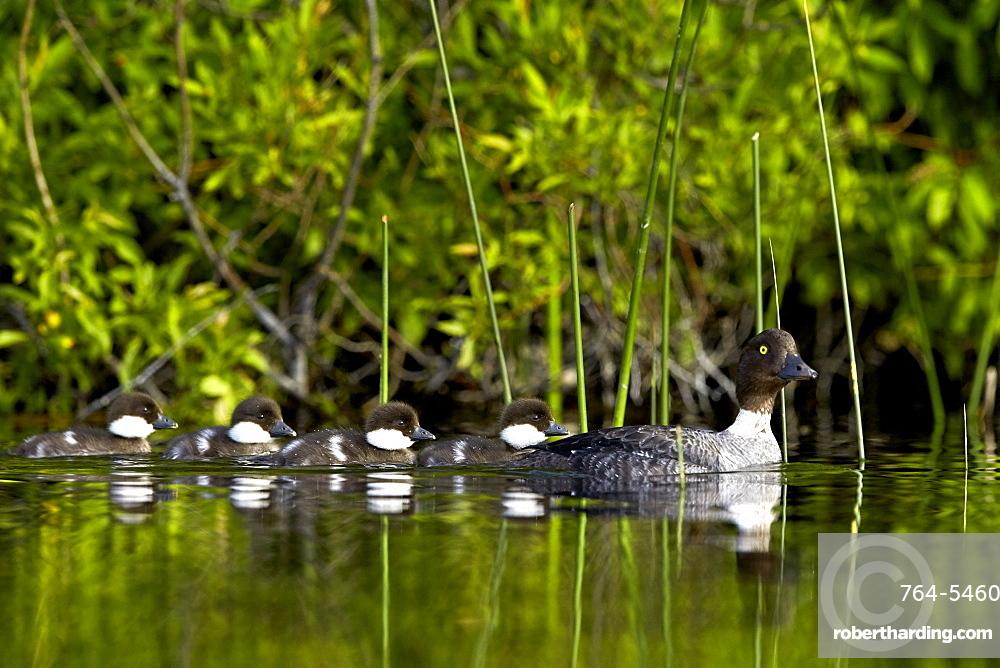 Common goldeneye (Bucephala clangula) female swimming with four chicks, Lac Le Jeune Provincial Park, British Columbia, Canada, North America