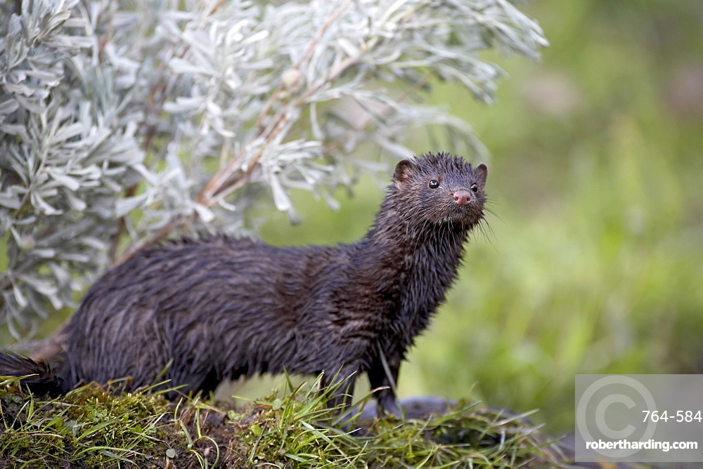 Mink (Mustela vison) mother and babies, in captivity, Animals of Montana, Bozeman, Montana, United States of America, North America