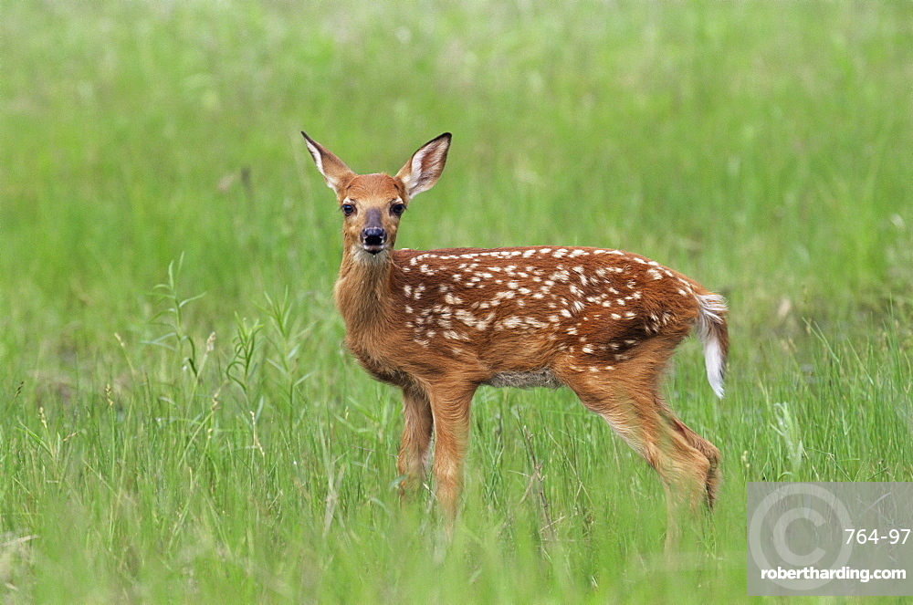 Whitetail deer fawn (Odocileus virginianus), 21 days old, in captivity, Sandstone, Minnesota, United States of America, North America