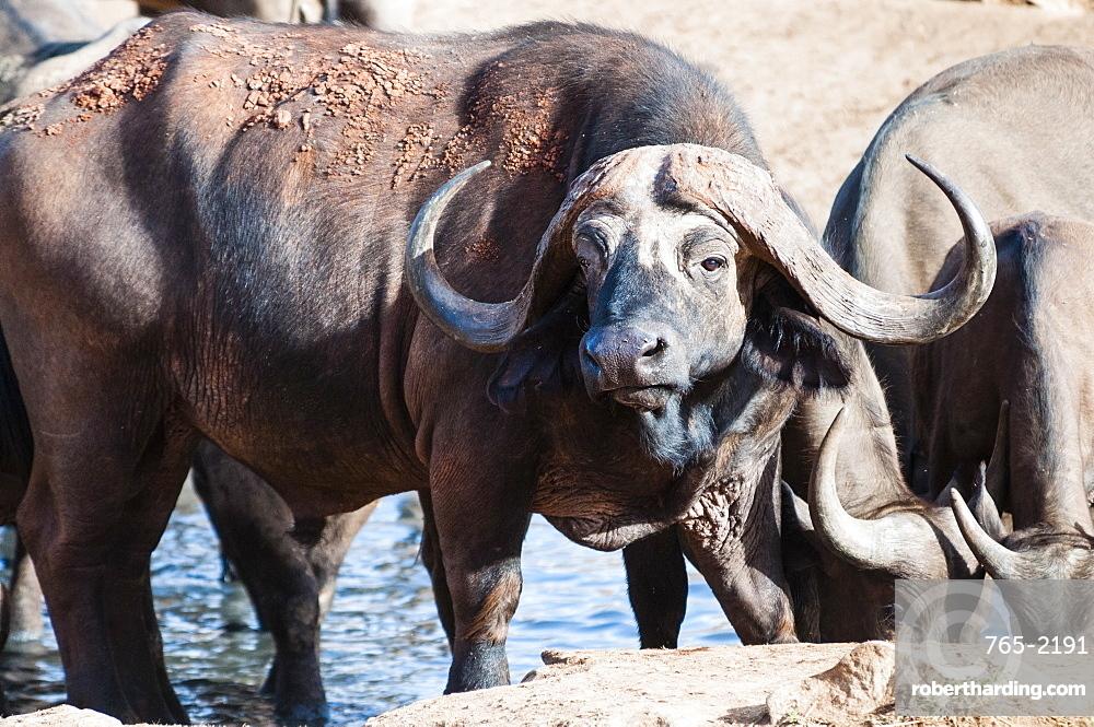 African Buffalo (Syncerus caffer) drinking, Taita Hills Wildlife Sanctuary, Kenya, East Africa, Africa
