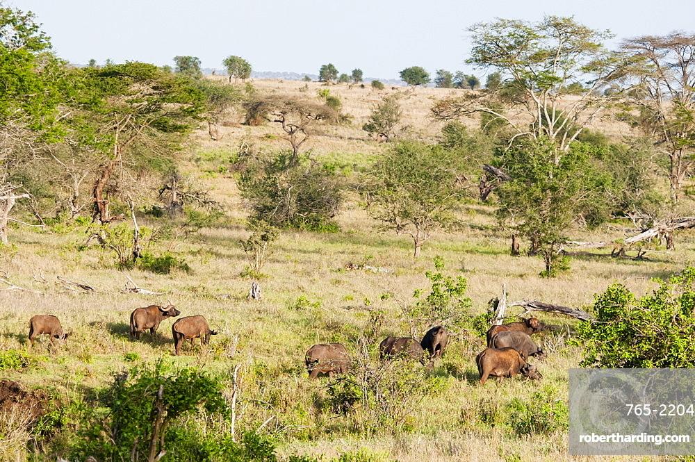 Herd of African Buffaloes (syncerus caffer), Taita Hills Wildlife Sanctuary, Kenya, East Africa