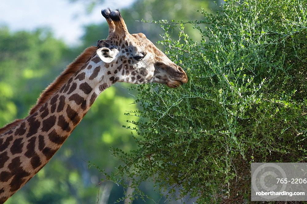 Male of Maasai giraffe (Giraffa tippelskirchi), Tsavo East National Park, Kenya, East Africa