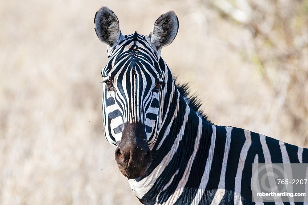 Plains zebra (Equus quagga), Taita Hills Wildlife Sanctuary, Kenya, East Africa
