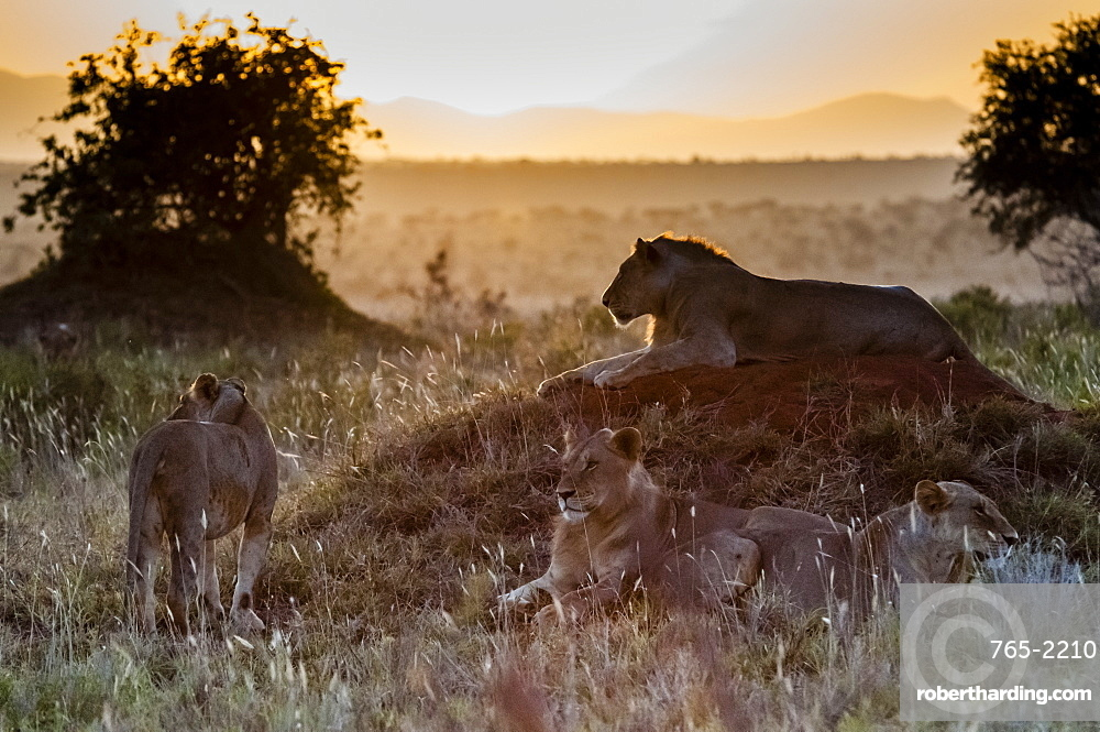 Young male lions (Panthera leo) in the bush, Tsavo East National Park, Kenya, East Africa