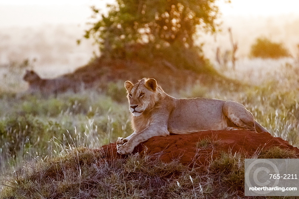 Two Young male lions (Panthera leo) in the bush, Tsavo East National Park, Kenya, East Africa