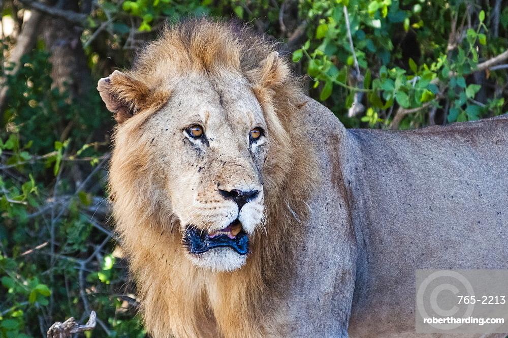 Male lion (Panthera leo) in the bush, Tsavo East National Park, Kenya, East Africa