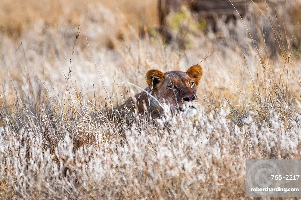 Young lion (Panthera leo) in the bush, Taita Hills Wildlife Sanctuary, Kenya, East Africa
