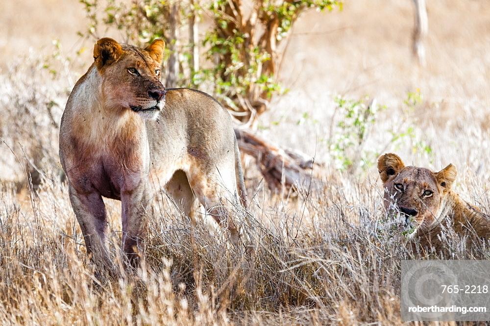 Young lions (Panthera leo) in the bush, Taita Hills Wildlife Sanctuary, Kenya, East Africa