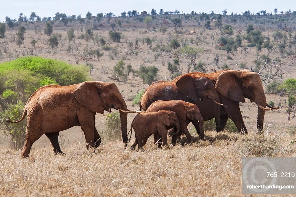 Herd of Elephants (Loxodonta africana), Taita Hills Wildlife Sanctuary, Kenya, East Africa