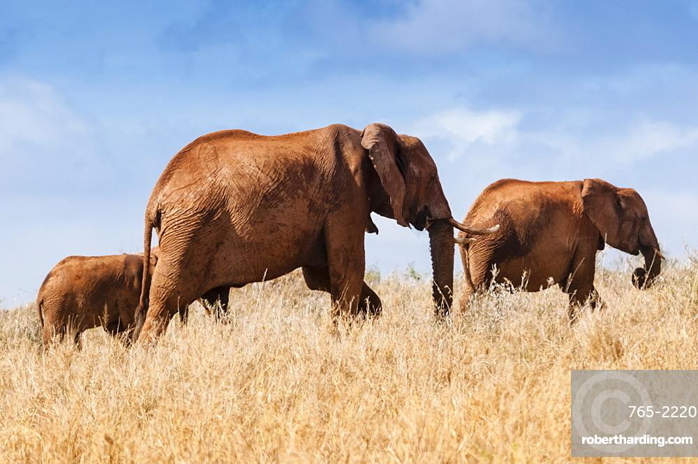 Herd of Elephants (Loxodonta africana), Taita Hills Wildlife Sanctuary, Kenya, East Africa, Africa