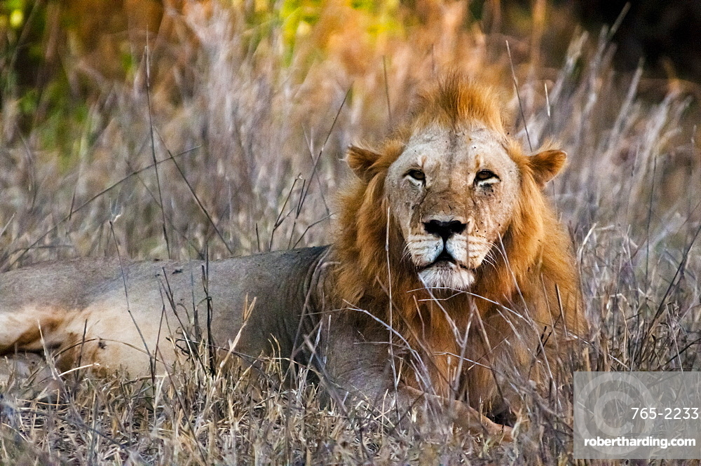 Male lion (Panthera leo) in the bush, Taita Hills Wildlife Sanctuary, Kenya, East Africa