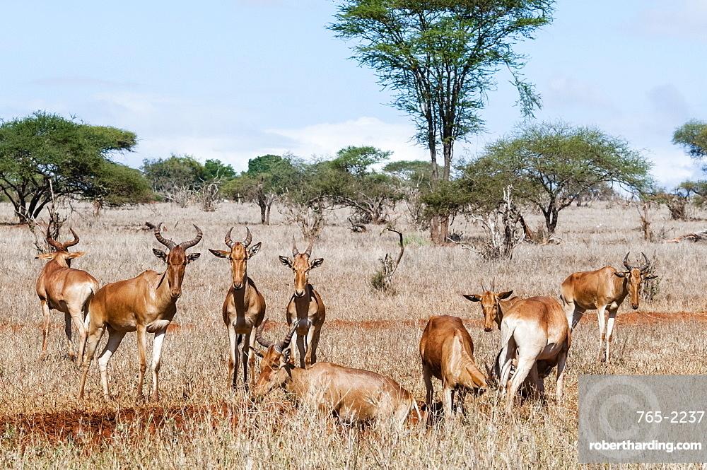 Herd of Hartebeests (Alcelaphus buselaphus),Taita Hills Wildlife Sanctuary, Kenya, East Africa