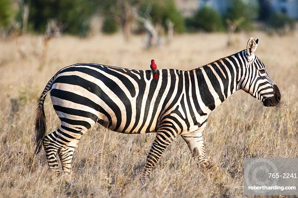 Plains zebra (Equus quagga), one southern carmine bee-eater (Merops nubicoides) on the croup,Taita Hills Sanctuary, Kenya