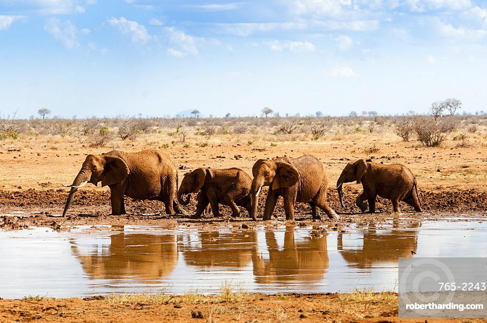 Elephants (Loxodonta africana) at waterhole, Tsavo East National Park, Kenya, East Africa