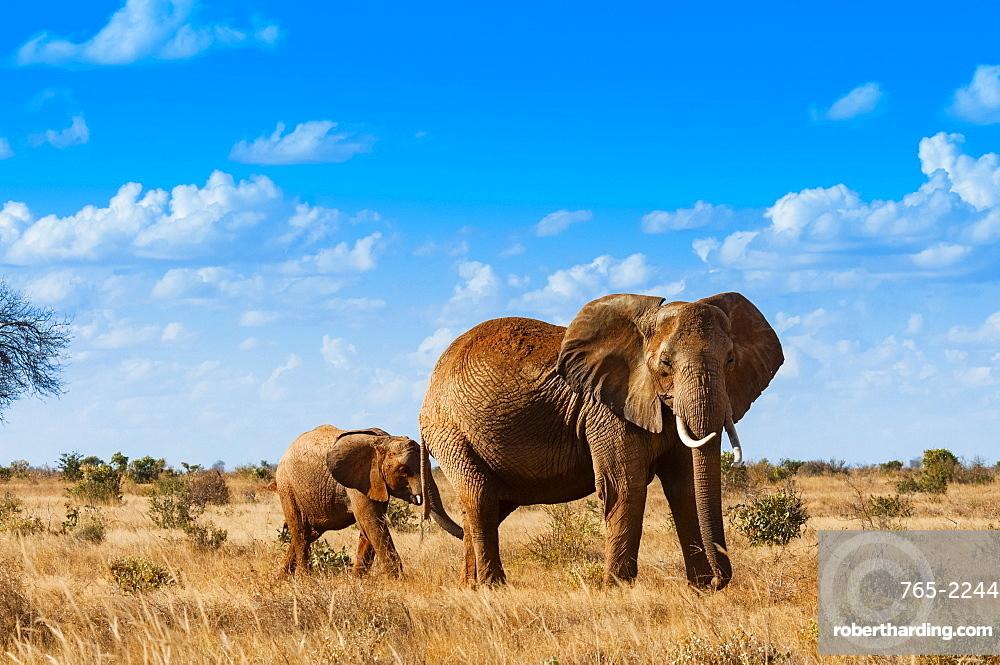 Female Elephant and calf 2 y.o. (Loxodonta africana), Tsavo East National Park, Kenya, East Africa