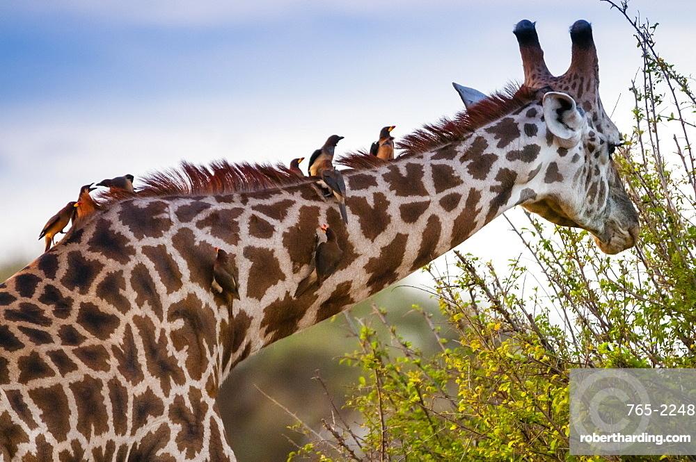 Male Maasai giraffe (Giraffa tippelskirchi), Oxpeckers (Buphagus erythrorhynchus) on his neck,Tsavo East National Park, Kenya