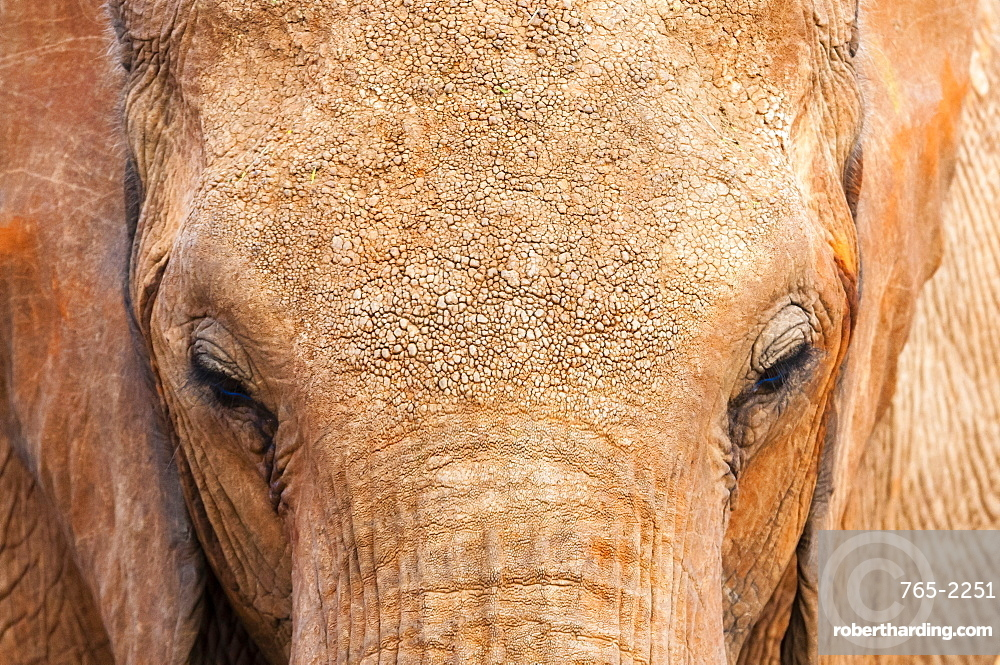 Elephant (Loxodonta africana), Tsavo East National Park, Kenya, East Africa