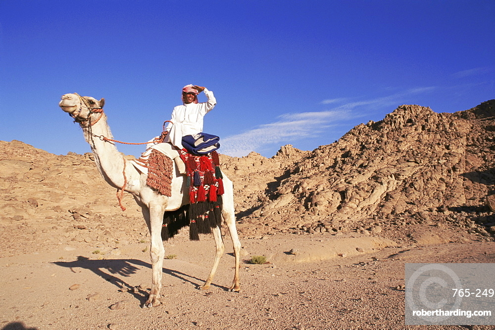 Bedouin and camel, Sinai, Egypt, North Africa, Africa