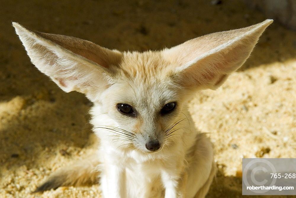 Fennec (desert fox)