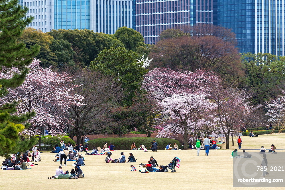 People relaxing and picnicking amongst the beautiful cherry blossom in Tokyo Imperial Palace East Gardens, Tokyo, Japan, Asia