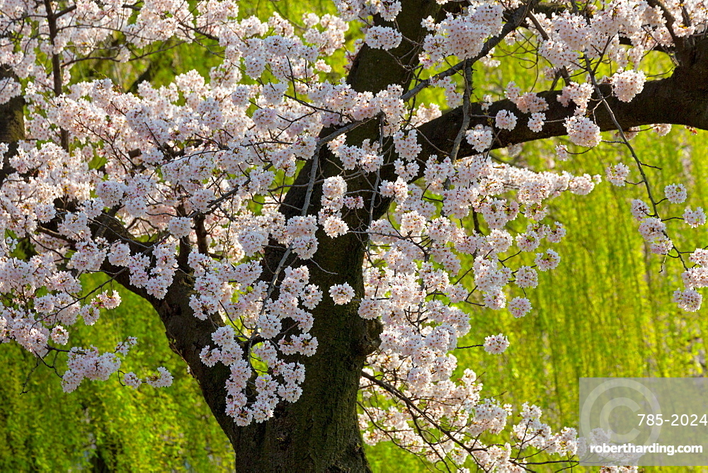 Beautiful cherry blossom and willow in Ueno Park, Tokyo, Japan, Asia