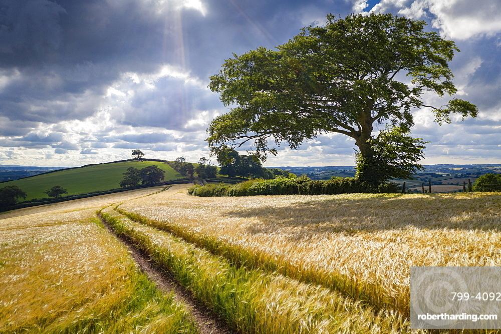 Crop field and windswept tree, Devon, England, United Kingdom, Europe