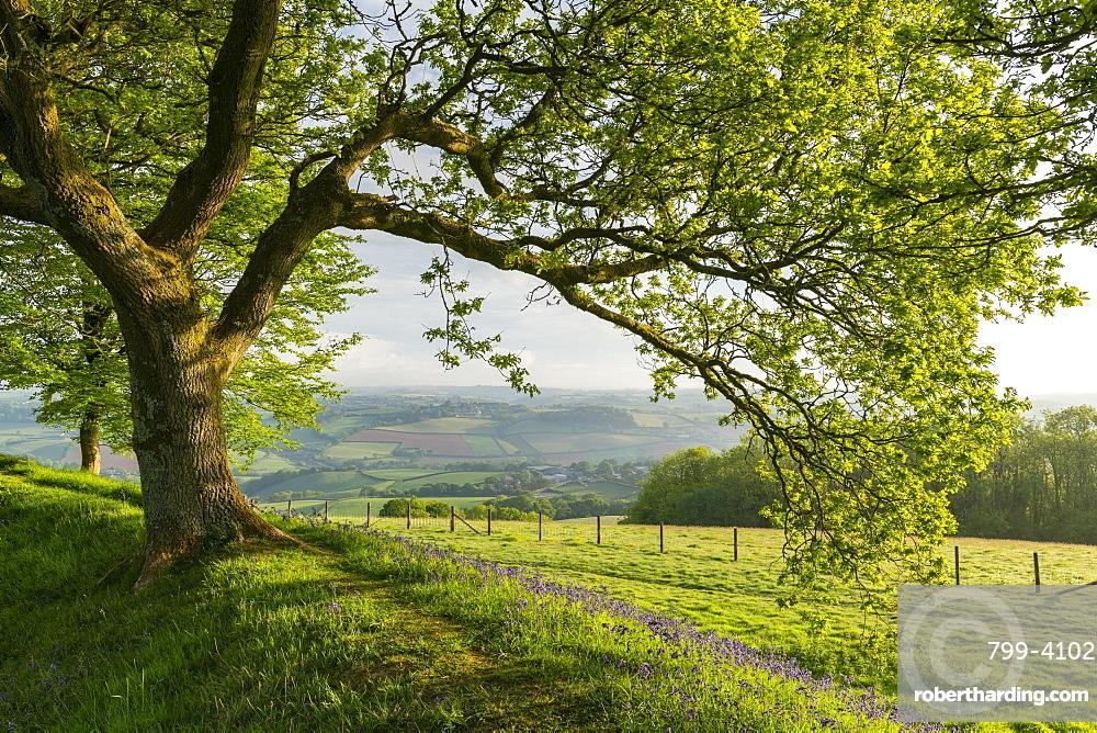 Oak tree growing above bluebells flowering on the ramparts of Cadbury Castle in Devon, England, United Kingdom, Europe