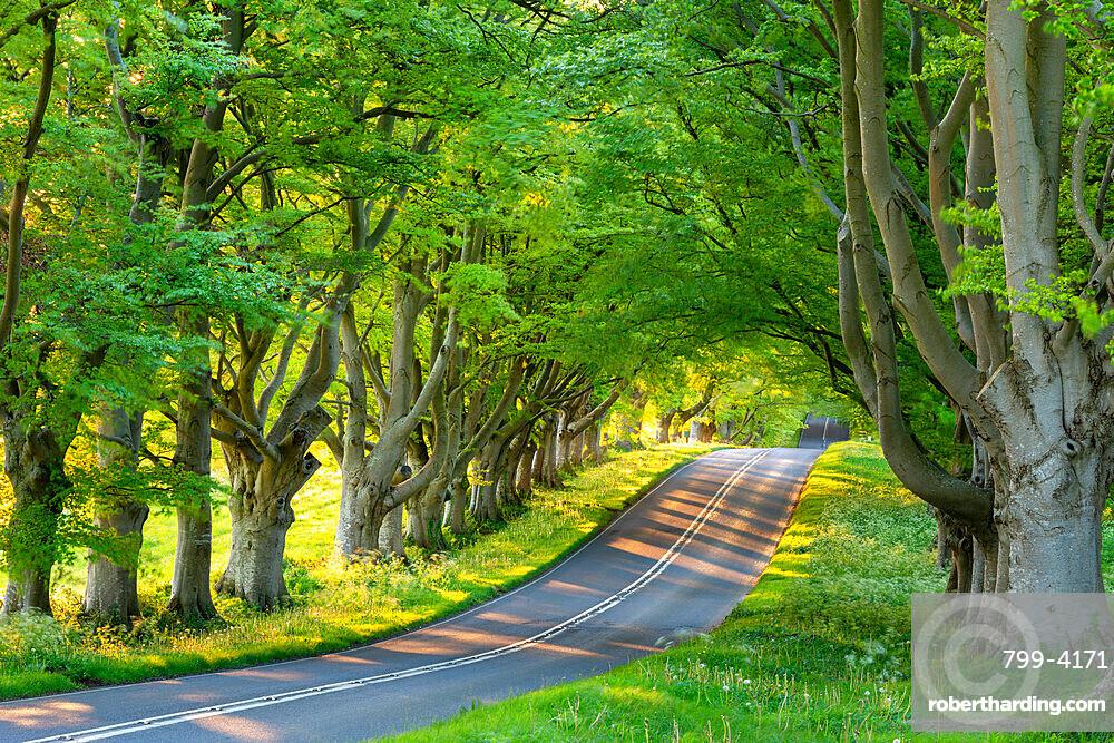 Beech tree avenue and road in morning sunlight in spring, Badbury Rings, Dorset, England, United Kingdom, Europe