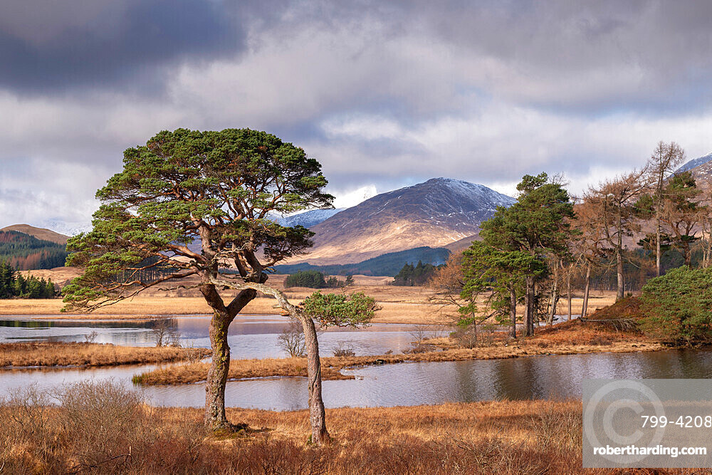Scots Pine trees on the shores of Loch Tulla in winter in the Scottish Highlands, Scotland, United Kingdom, Europe