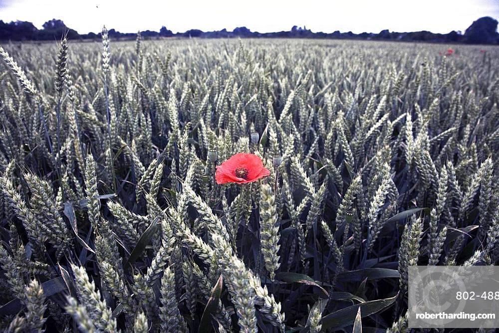 Poppy in a field of wheat, Norfolk, England, United Kingdom, Europe