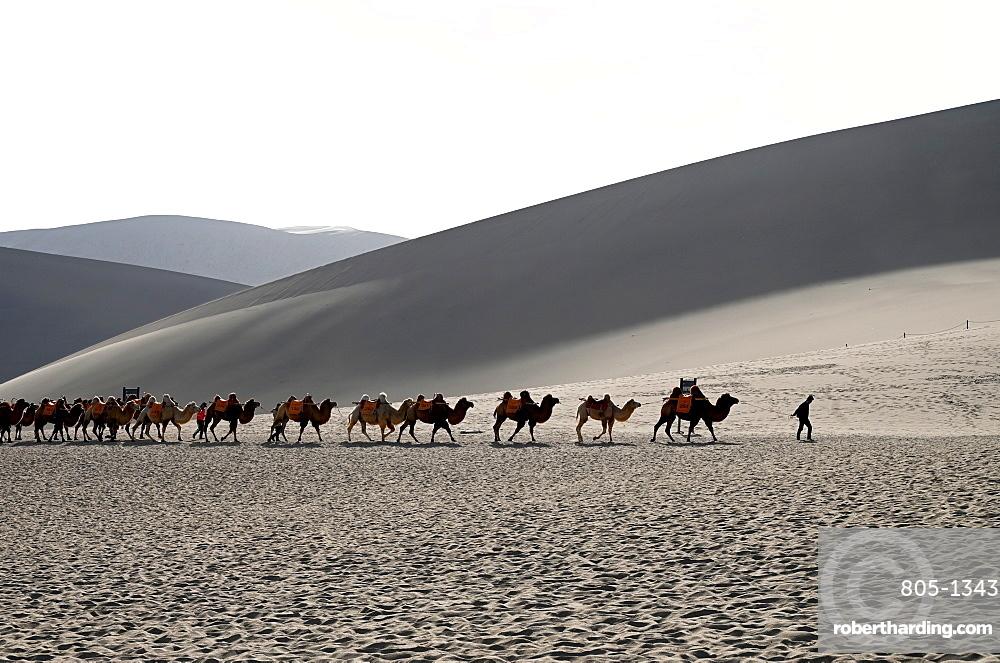 Camels being led back through the Singing Sand Dunes, Dunhuang, Northwest Gansu province, China, Asia