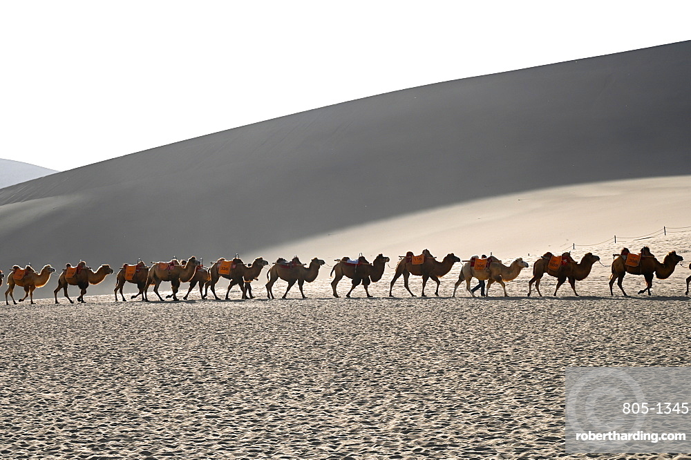Camels being led back through the Singing Sand Dunes in late afternoon, Dunhuang, Gansu, China, Asia