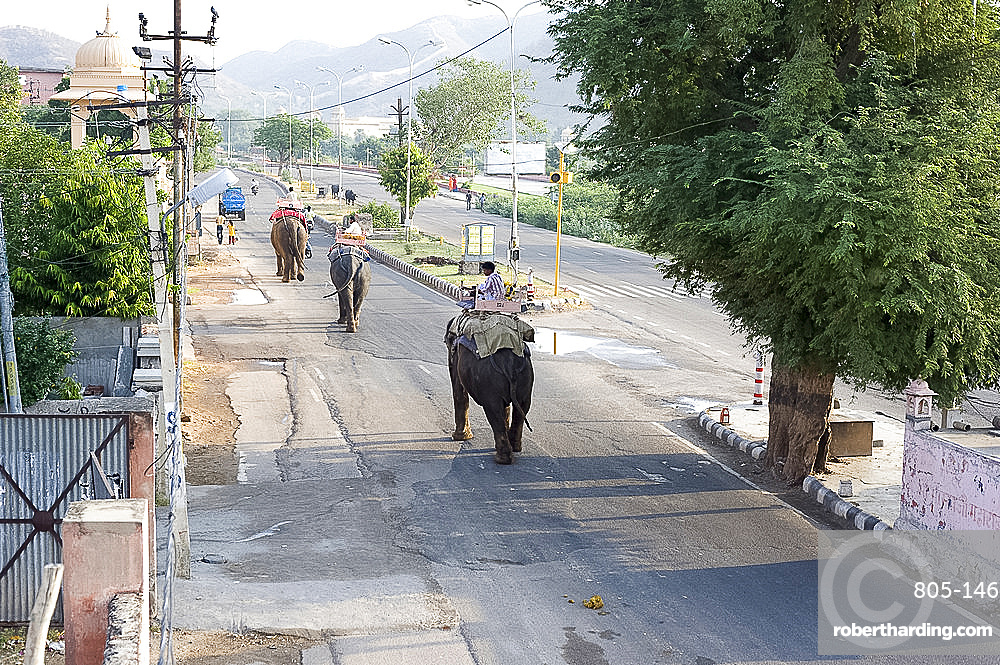 Elephants walking to work in early morning from Jaipur to the Amber Palace, Amber, Rajasthan, India, Asia