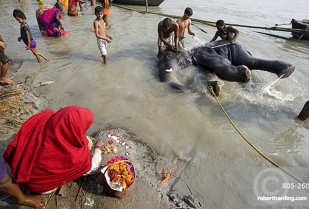 Bihari woman lays out a puja prayer on the banks of the Ganges where an elephant is being washed by mahouts, Patna, Bihar, India, Asia