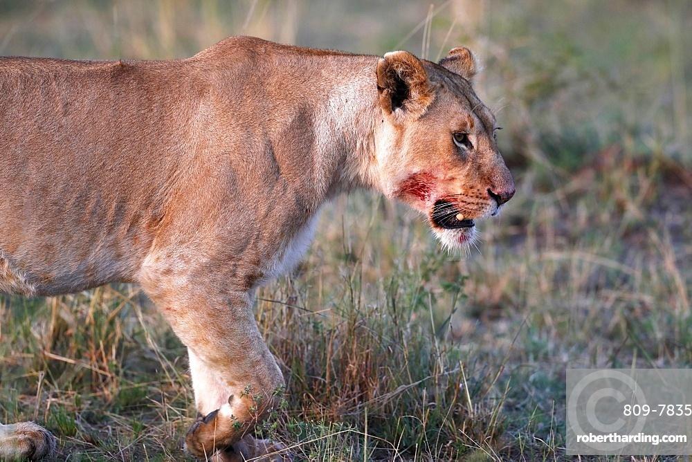 Lioness (Panthera leo) in savanna, Masai Mara National Park, Kenya, East Africa, Africa