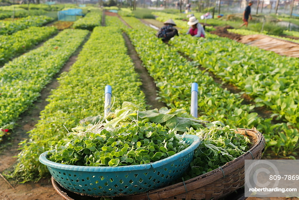 Organic vegetable gardens in Tra Que Village and fresh green herbs in basket, Hoi An, Vietnam, Indochina, Southeast Asia, Asia