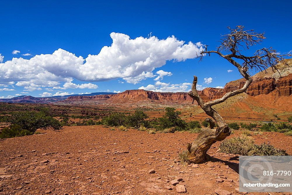 Dead tree in the Capitol Reef National Park, Utah, United States of America, North America