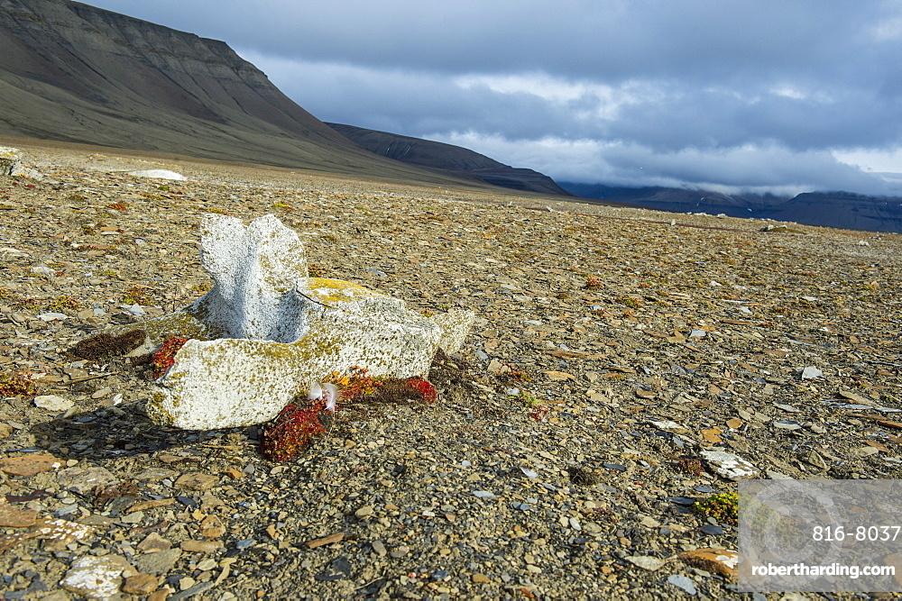 Whale bone on the shore of Diskobukta, Svalbard, Arctic