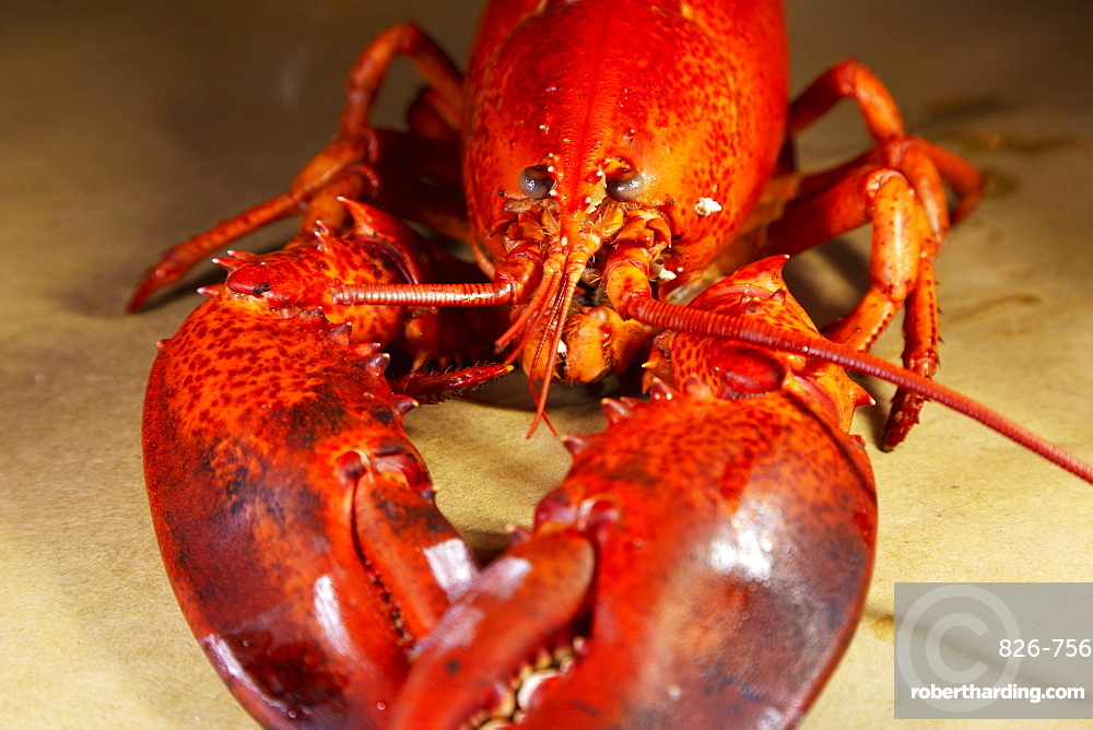 A cooked, locally landed lobster boiled and served ready to eat in a lobster dinner at Chester, Nova Scotia, Canada, North America